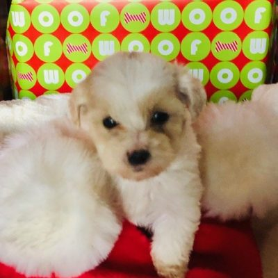 Mina - female Maltipoo doggie for sale at Enfield, Connecticut
