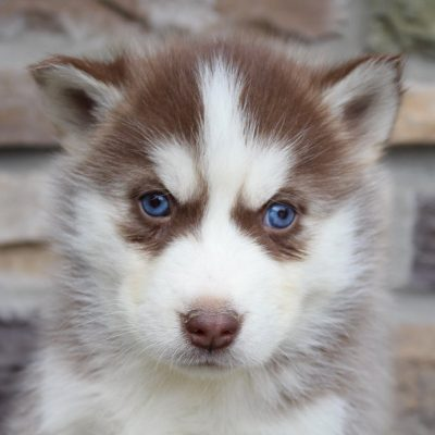 Rosetta - female AKC Siberian Husky pup for sale in New Haven, Indiana