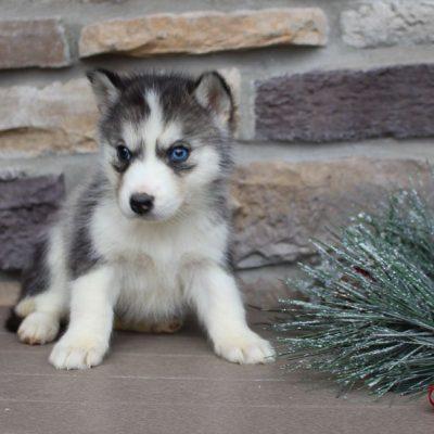 Roxy - AKC Siberian Husky pupy for sale near New Haven, Indiana