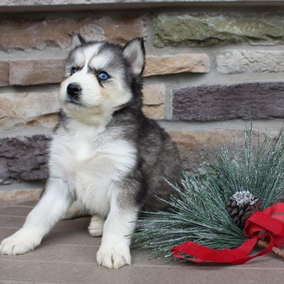Ronda - AKC Siberian Husky pupper for sale at New Haven, Indiana