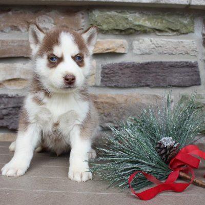 Rando - doggie AKC Siberian Husk for sale near New Haven, Indiana