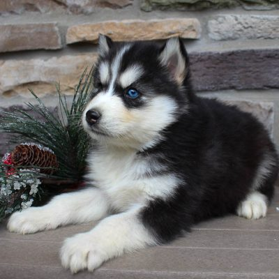 Rover - male AKC Siberian Husky pupper for sale in New Haven, Indiana