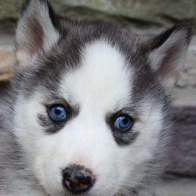Ronald - pup AKC Siberian Husky for sale at New Haven, Indiana