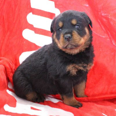 Tanisha - AKC female Rottweiler pup for sale in Shipshewana, Indiana