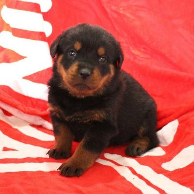 Tammy - female AKC Rottweiler pupy for sale at Shipshewana, Indiana
