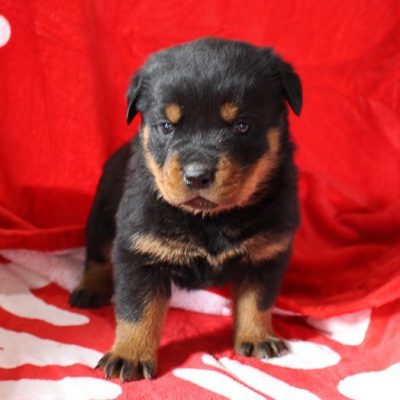 Tori - AKC Rottweiler pupper for sale in Shipshewana, Indiana