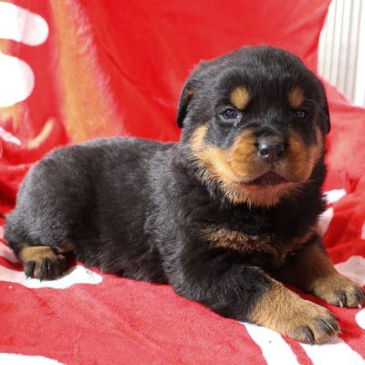 Tia - AKC Rottweiler female puppy for sale at Shipshewana, Indiana