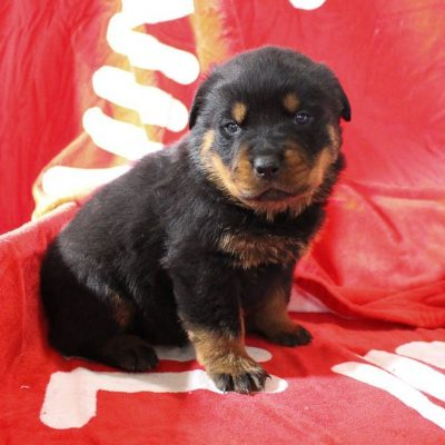 Taylor - doggie AKC Rottweiler for sale near Shipshewana, Indiana