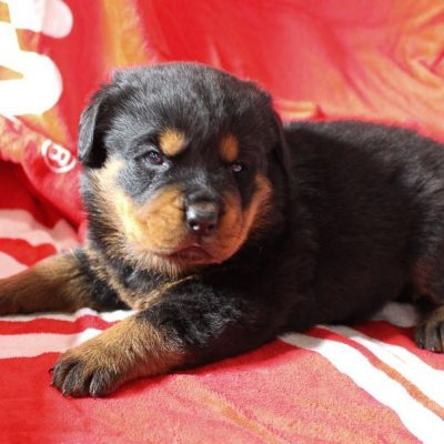 Tyson - pupper AKC Rottweiler for sale in Shipshewana, Indiana