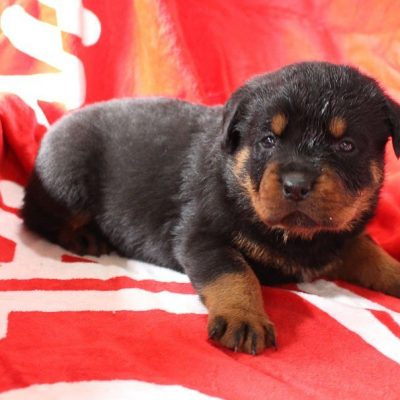 Tianna - female AKC Rottweiler pup for sale at Shipshewana, Indiana