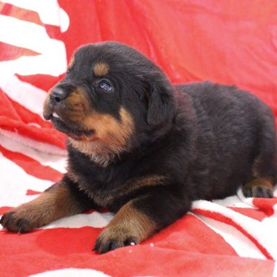 Tiffany - AKC Rottweiler female doggie for sale at Shipshewana, Indiana