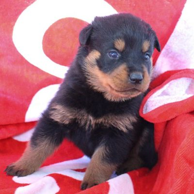 Meika - AKC female Rottweiler for sale near Shipshewana, Indiana