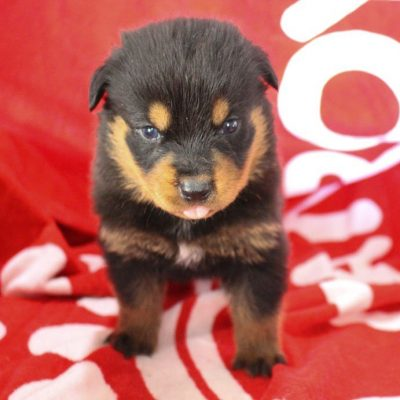 Mason - AKC Rottweiler pupper for sale in Shipshewana, Indiana