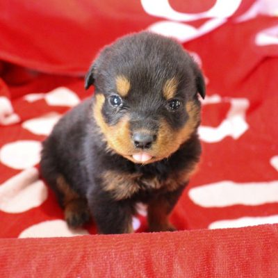 Miranda - female AKC Rottweiler puppy for sale at Shipshewana, Indiana