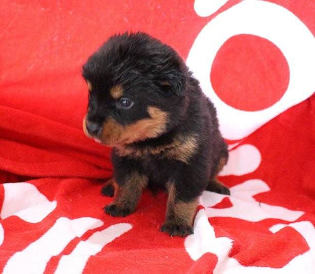 Morgan - AKC Rottweiler doggie for sale in Shipshewana, Indiana