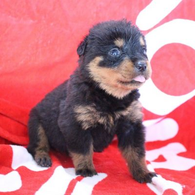 Makayla - pup AKC Rottweiler for sale at Shipshewana, Indiana