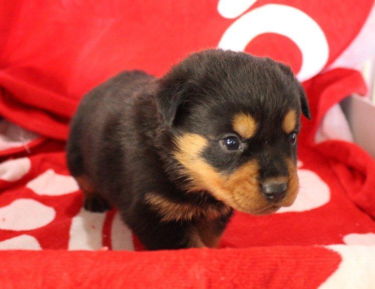 Maddi - doggie AKC Rottweiler for sale near Shipshewana, Indiana
