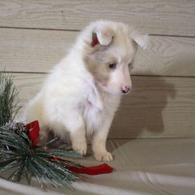 Foxy - AKC German Shepherd doggie for sale near Grabill, Indiana