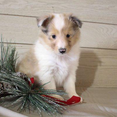 Freddie - pup AKC Shetland Sheepdog for sale in Grabill, Indiana