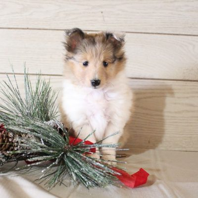 Freda - AKC Shetland Sheepdog puppy for sale near Grabill, Indiana