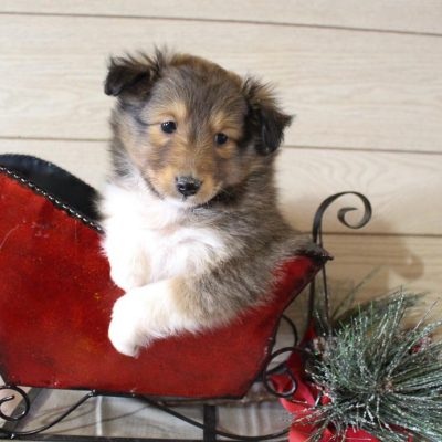 Frankie - male AKC Shetland Sheepdog pupper for sale in Grabill, Indiana