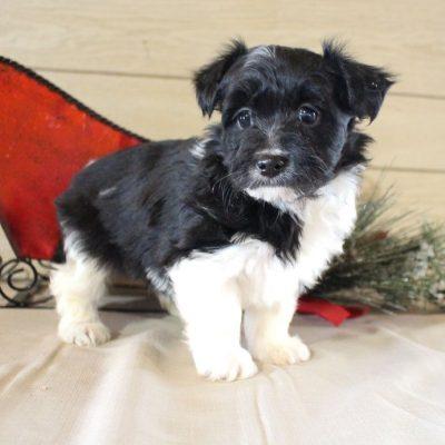 Bella - Shelcon pup for sale near Grabill, Indiana
