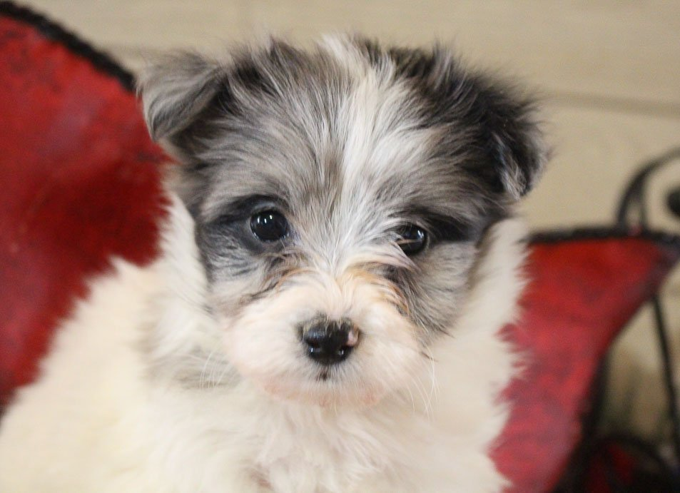 Buttercup - female AKC Shelcon doggie for sale at Grabill, Indiana