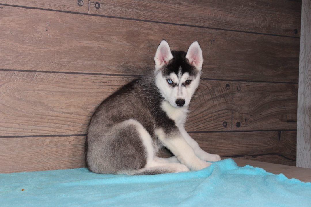 Lena - AKC Siberian Husky puppy for sale in Nappanee, Indiana