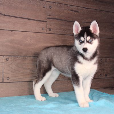 Lexie - AKC Siberian Husky puppy for sale in Nappanee, Indiana