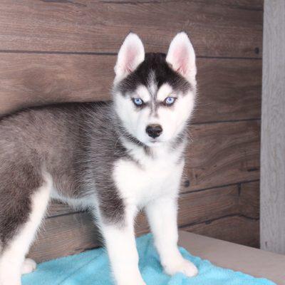 Sierra - AKC Siberian Husky puppy for sale in Nappanee, Indiana