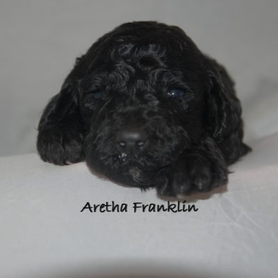 Aretha Franklin, AKC Standard Poodle Puppy near Tampa, Florida
