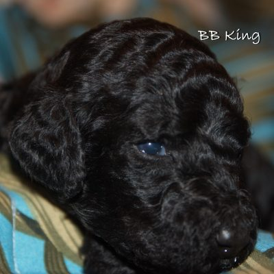 BB King - AKC Standard Poodle Puppy for sale near Tampa, Florida