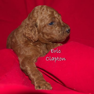 Eric Clapton - a Male Standard Poodle Puppy Near Tampa, Florida for sale