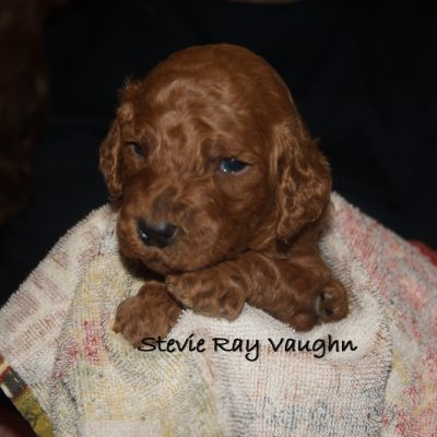 Stevie Ray Vaughn - a male Standard Poodle puppy near Tampa, Florida for sale