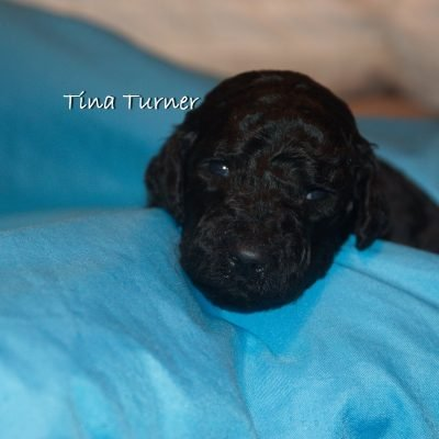 Tina Turner - AKC Standard Poodle Puppy for sale in Clearwater, Florida