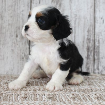 Samson - AKC Cavalier King Charles Spaniel puppy for sale at New Haven, Indiana