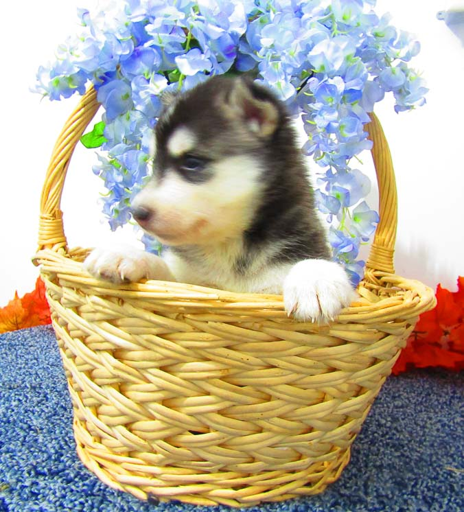 Suzie - Siberian Husky AKC pup for sale at New Haven, Indiana
