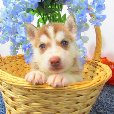 Jack - doggie AKC Siberian Husky for sale near New Haven, Indiana