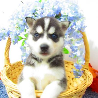 Timmy - AKC Siberian Husky pup for sale in New Haven, Indiana
