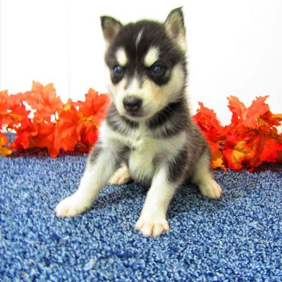 Trixie - AKC Siberian Husky for sale at New Haven, Indiana