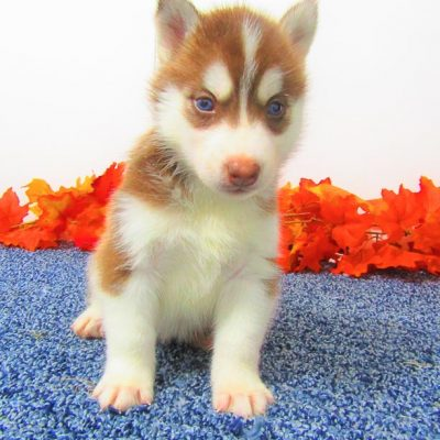 Bobby - AKC Siberian Husky pup for sale at New Haven, Indiana