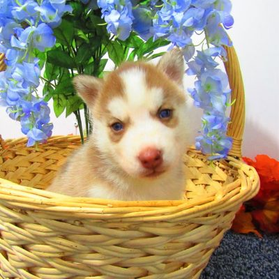 Big Joe - male AKC Siberian Husky for sale in New Haven, Indiana