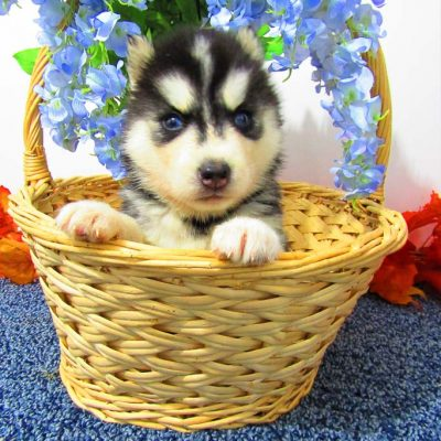 Lady - AKC Siberian Husky puppy for sale at New Haven, Indiana