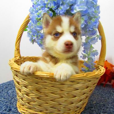 Rover - AKC Siberian Husky pup for sale at New Haven, Indiana