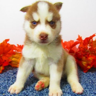Fred - AKC Siberian Husky doggie for sale near New Haven, Indiana