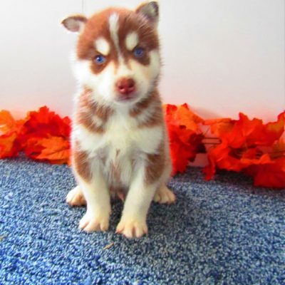 Spot - pupper AKC Siberian Husky for sale at New Haven, Indiana