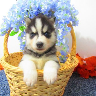 Jimmy - pupper AKC Siberian Husky for sale at New Haven, Indiana