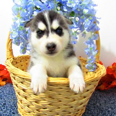 Jake - AKC male Siberian Husky pupper for sale near New Haven, Indiana