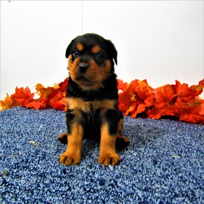 Mack - pupper AKC Rottweiler for sale in Grabill, Indiana