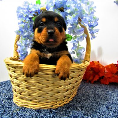 Chevy - male AKC Rottweiler for sale near New Haven, Indiana